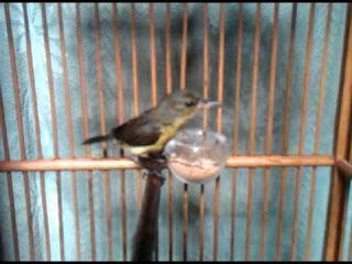 Burung Kolibri Ninja Trotol