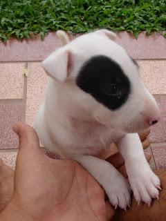 Bull Terrier Diary : ทายนิสัยเจ้าของสุนัข จากการตั้งชื่อ สุนัข