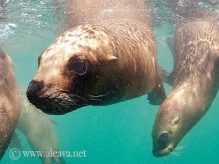 Tauchen mit Seelöwen Patagonien