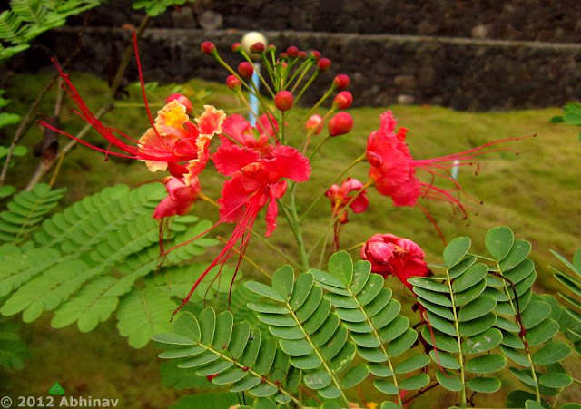 Pride of Barbados or Peacock Flower (Rajamalli)