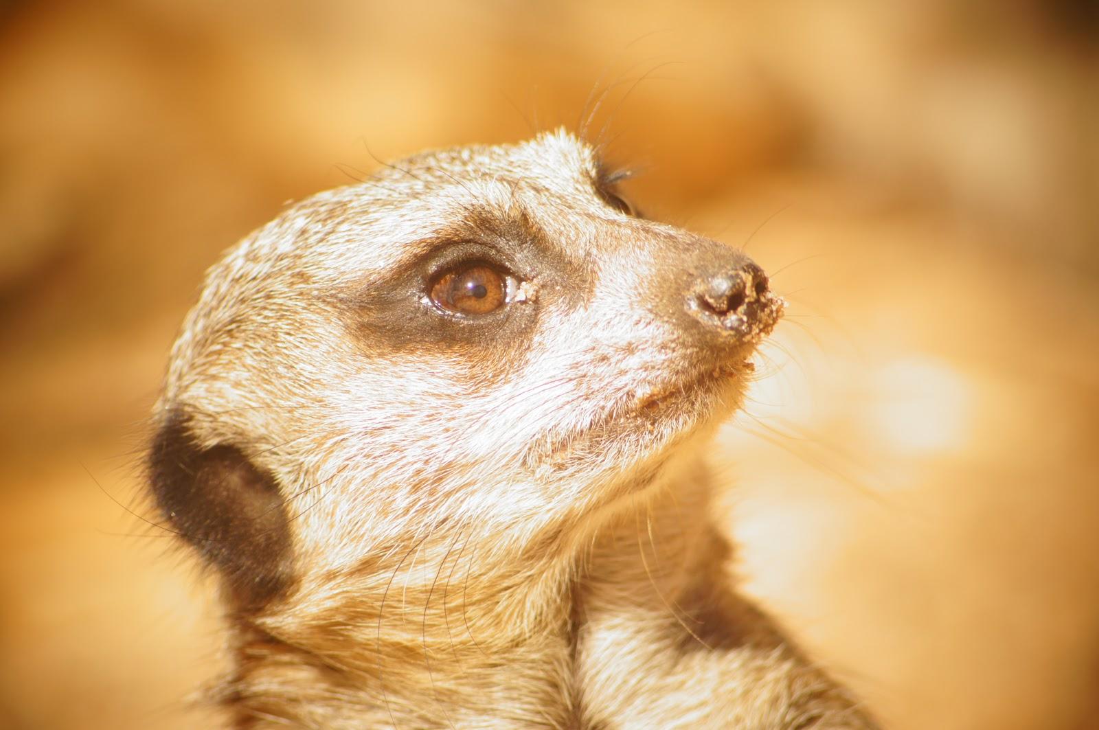 public domain picture of a meerkat
