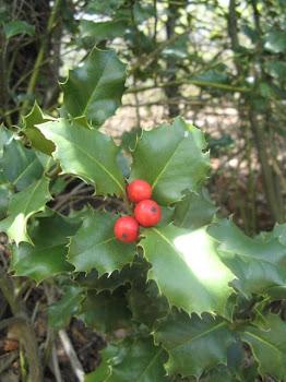 Ilex aquifolium (Agrifolio comune)