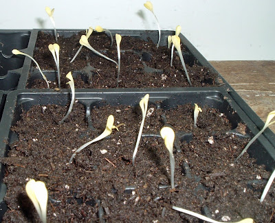 [Photo: Gazania rigens sprouts!]
