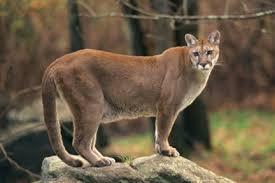 puma andino, animales salvajes colombia, león de montaña, león sabanero