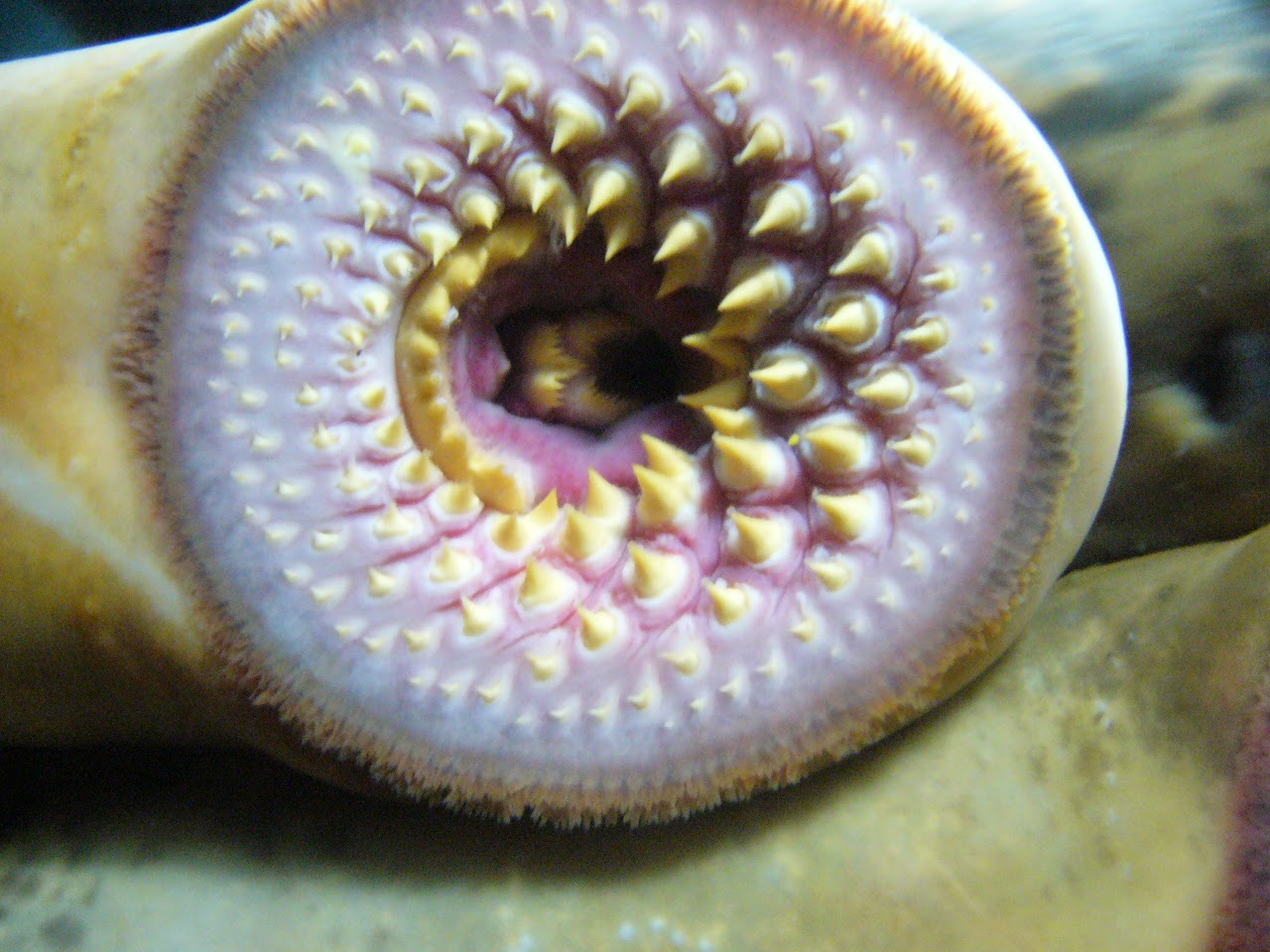 Lamprey close-look at rowed teeth