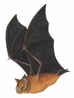 chiroptera prehistorica Brachipposideros