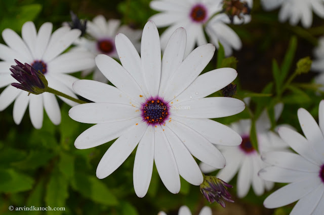 Blue Eyed, White Flower, HD Pic