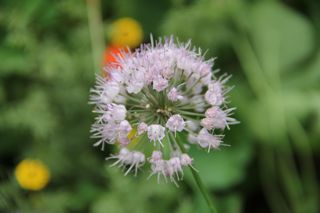 photo of Allium (prairie onion) in blossom