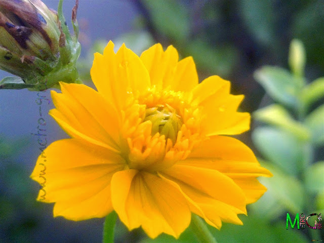Metro Greens: Yellow cosmos bloom