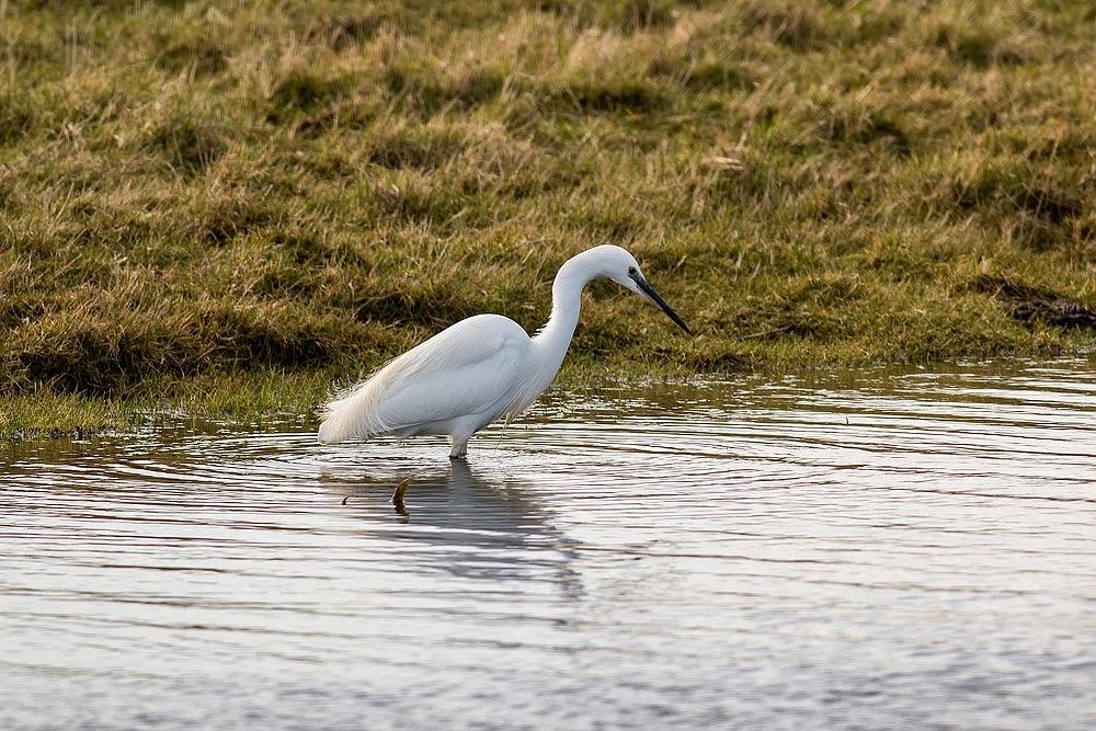 Little Egret feeding