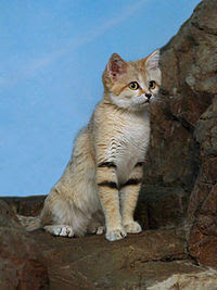 Arabian Sand Cat sitting in tree