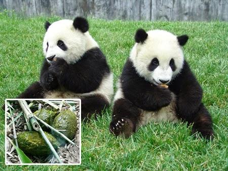 Teh Organik Kotoran Panda