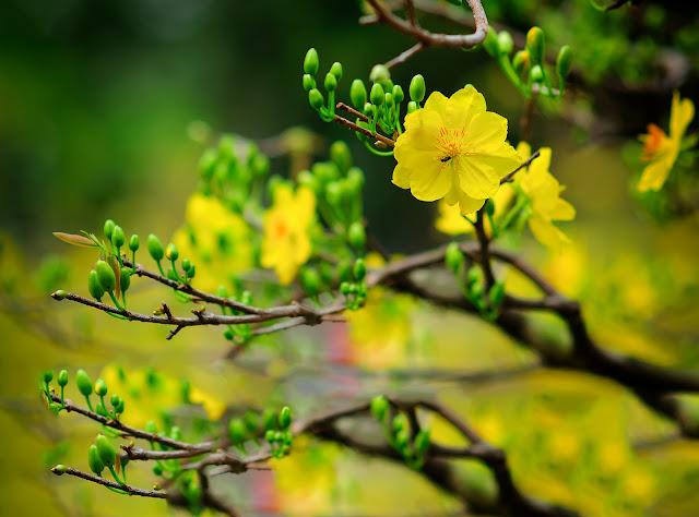 Ảnh đẹp mai vàng ngày tết nguyên đán - Hình 13