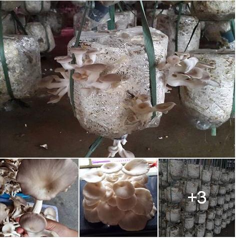 Bán nấm sò tím tươi đến từng GIA ĐÌNH