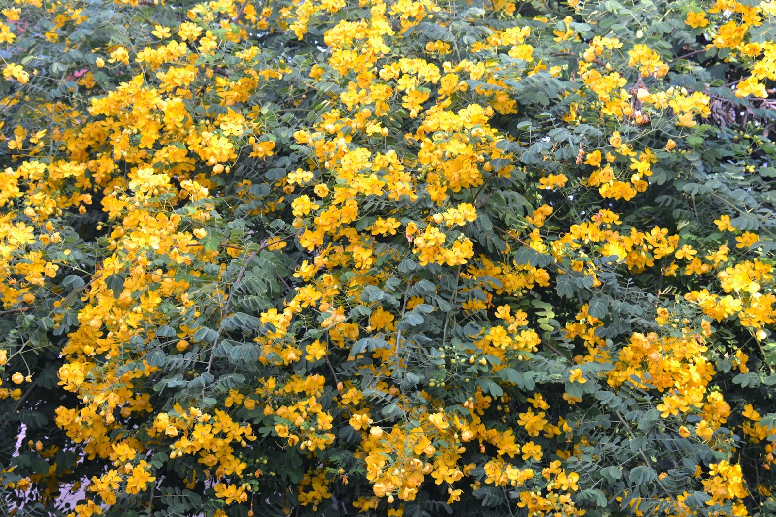 Dragonfly garden yellow cassia tree in full bloom for Garden trees with yellow flowers