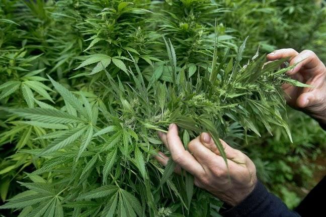 """Cannabis terapeutica? """"Facciamola noi, siamo pronti"""" nella sede del CRA-CIN di ROVIDO"""