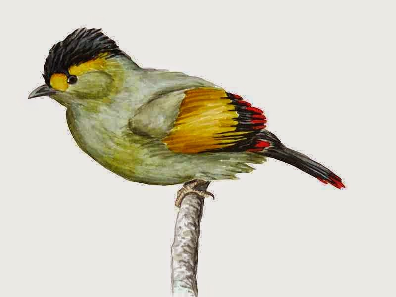 http://sciencythoughts.blogspot.co.uk/2014/07/bugun-liocichla-classified-as.html