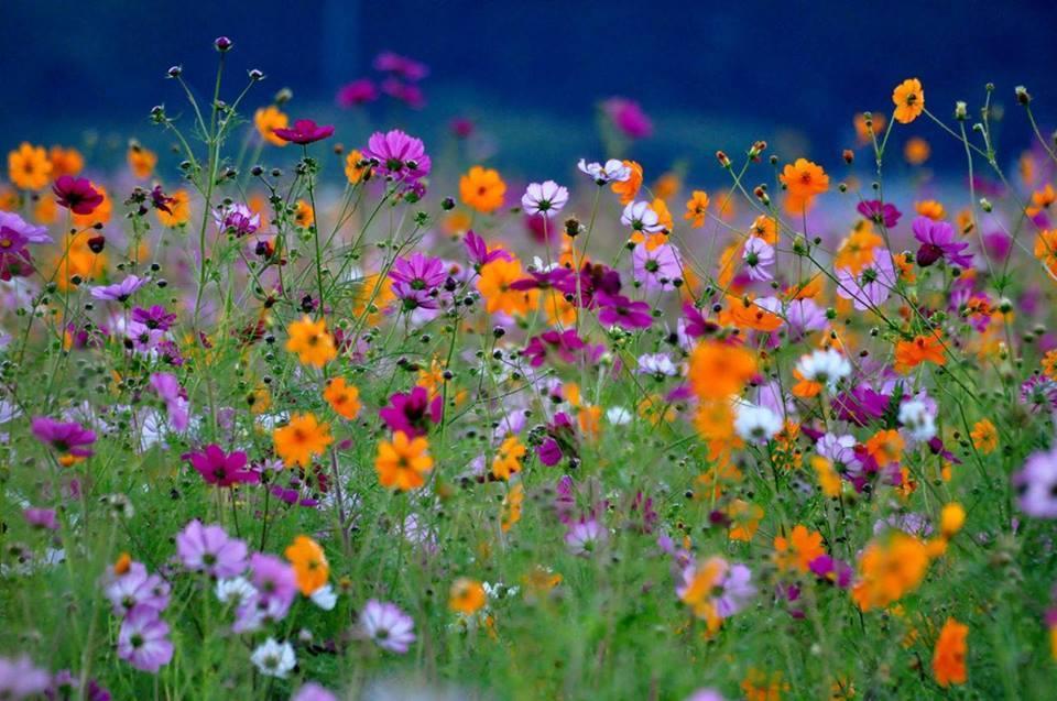 Kosmosy moje kwiaty :)