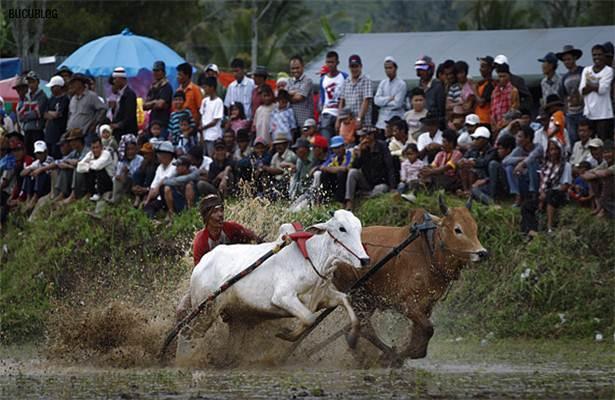 perlumbaan lumba lembu di sawah padi indonesia3
