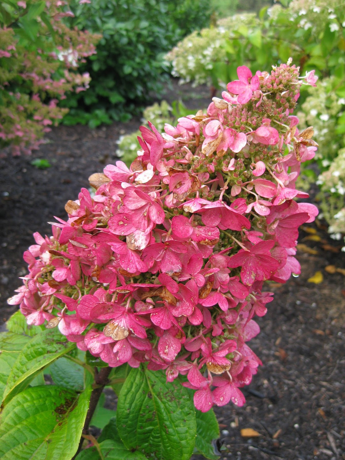 panicled hydrangeas for consideration mark 39 s garden. Black Bedroom Furniture Sets. Home Design Ideas