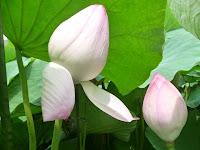 雌雄がすべて花弁に変わるため、蜂巣ができず花弁は3000から5000にもなるという