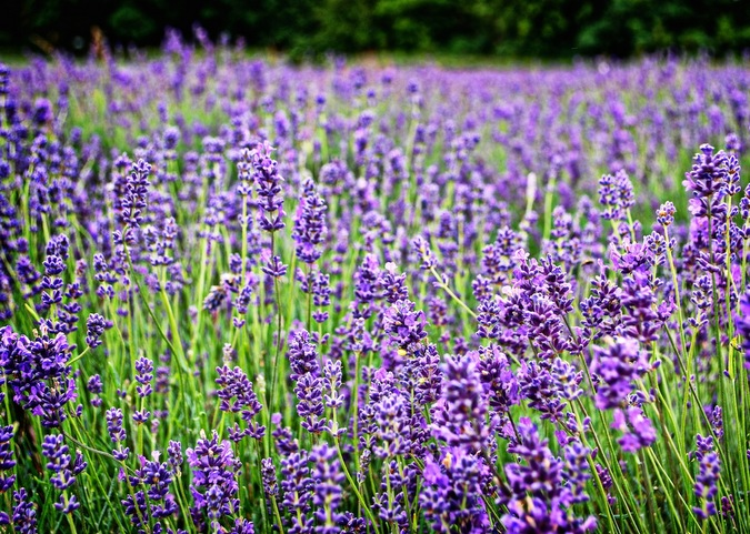 Mayfield Lavender Farm - Surrey, England