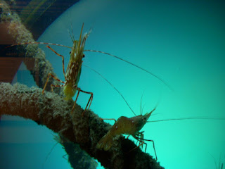 http://advocate.gaalliance.org/microencapsulated-organic-acids-aid-shrimp-culture/