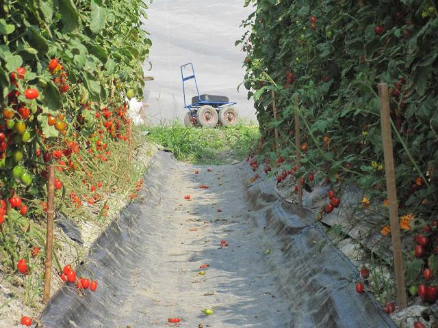 http://2.bp.blogspot.com/-lYh5U4OKaxQ/UQT0HmlmHiI/AAAAAAAAGW8/IsZLfPLebK4/s640/Silla+rodante+para+polinizar+tomate.jpg