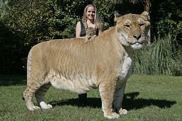 Liger The Biggest Cat Named Hercules - Just Dream High and ...