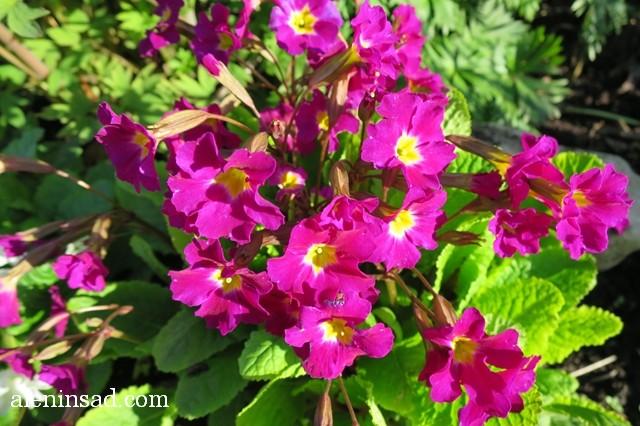 примула, розовая, аленин сад