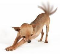 Cadela com cauda levantada
