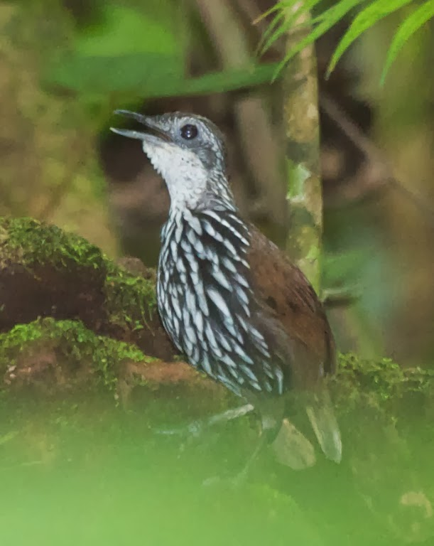 Bornean Ground-babbler (Ptilocichla leucogrammica)
