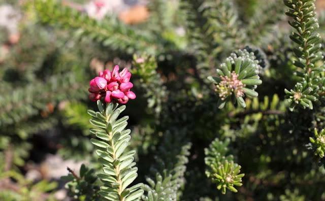 Grevillea Lanigera Flowers