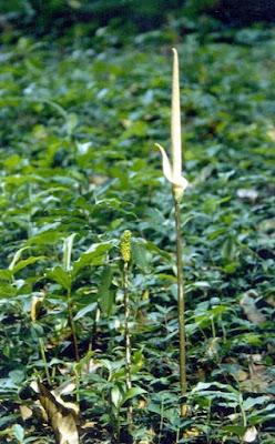 Gambar Foto tumbuhan obat Suweg