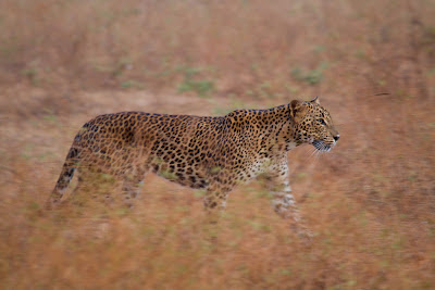 A photograph of a Leopard taken in Yala, Sri Lanka