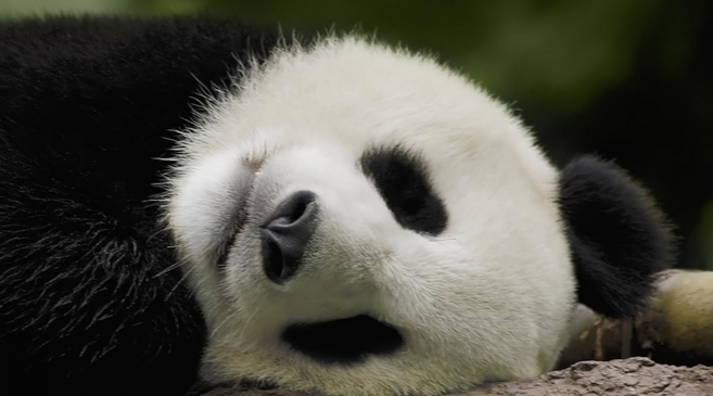 Contoh Report Text Singkat About Panda Beserta Artinya