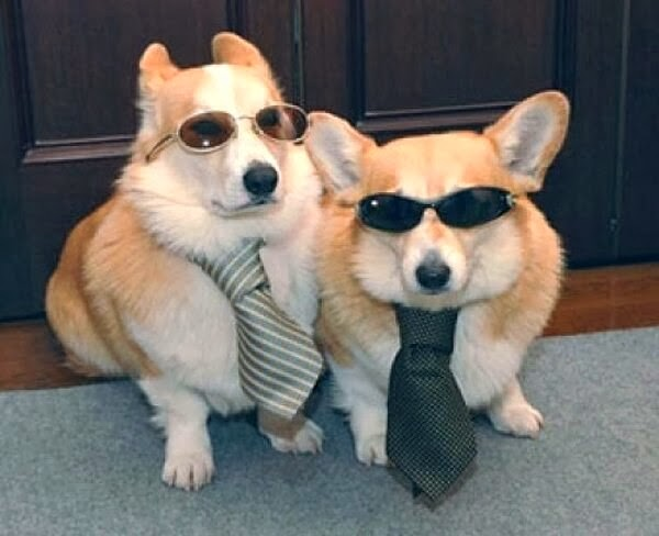 Cute dogs - part 11 (50 pics), two corgis wear sunglasses and ties