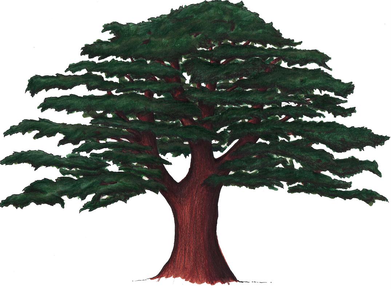 Gallery For gt Cedar Tree Drawing