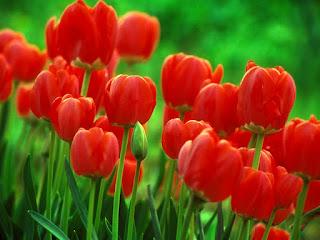Rangkaian bunga tulip nan indah, bunga tulip, bunga tulip merah