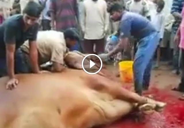Bakra Qurbani, Imran Khan's Massive Cow Qurbani Eid Qurbani 2014 2013, Bakra Qurbani, Imran Khan's Massive Cow Qurbani Eid Qurbani 2014 2014,