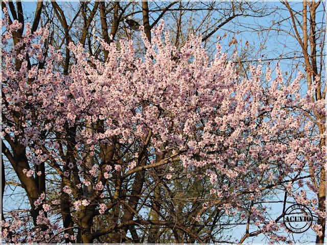 Brăila Copac Înflorit