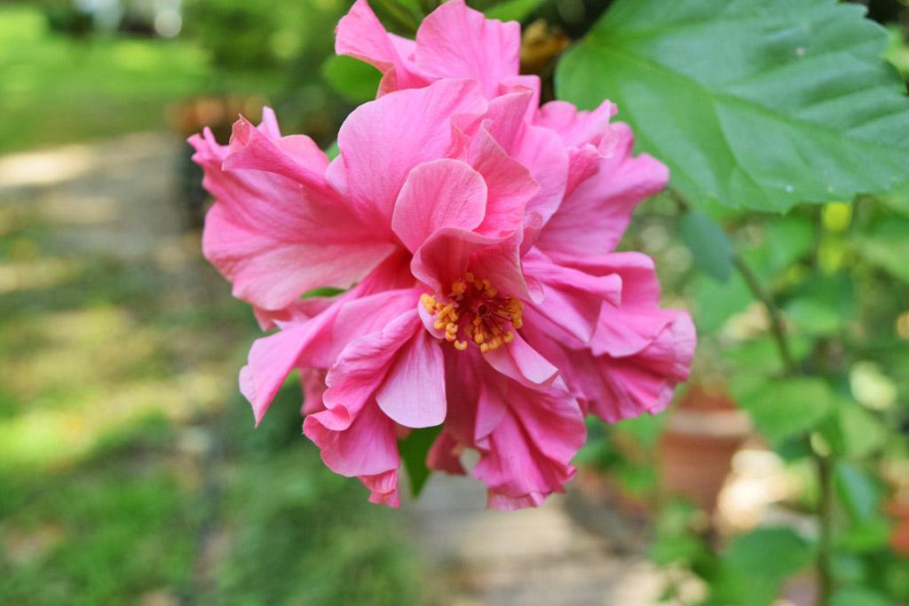 Mariette 39 s back to basics hibiscus 39 kona 39 hibiscus for Hibiscus rosa sinensis