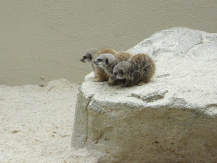 Baby meerkats huddled on rock