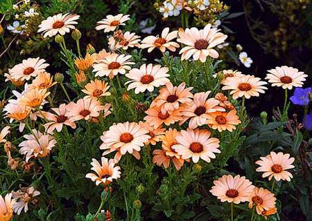 Piante e fiori dimorfoteca fiori che si aprono solo con for Solo piante