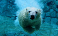 Polar bear swiming Puzzle