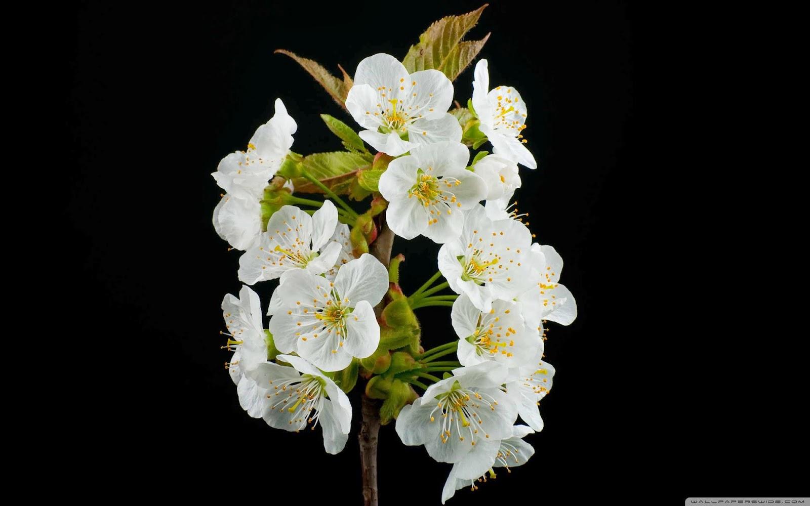 blooming flowers spring wallpaper
