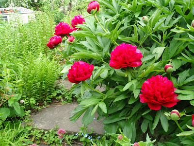 Peonies and Rhubarb