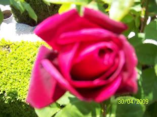 Rosa  común