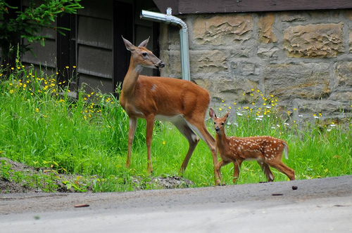 Funny baby white tailed deer |Funny Animal - photo#29