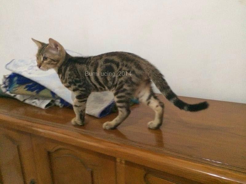Gambar Harga Ciri Sejarah Kucing Bengal Wajib Diketahui